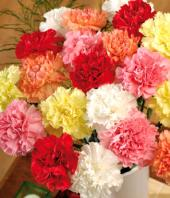 Carnation Carnival Gifts toTeynampet, flowers to Teynampet same day delivery